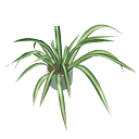 Spider plant by Nmn9